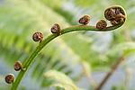 Taveuni, Fiji; detail view of a new growth fern leaf beginning to unfurl