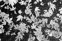 Switzerland. Canton Ticino. Massagno. A pile of autumn leaves that have fallen on the asphalt ground. 13.11.08 © 2008 Didier Ruef