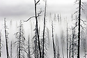 Pine and fir trees burned in 1988 fire with morning ground fog; Yellowstone National Park, Wyoming.