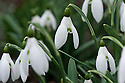 Snowdrop (Galanthus x valentinei), early March.