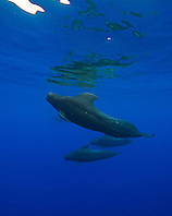 Short-finned Pilot Whales, Globicephala macrorhynchus, large bull with enormous dorsal fin, off Kohala Coast, Big Island, Hawaii, Pacific Ocean.