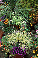 Beautiful container garden with ornamental grass variegated Carex & Phormium, Lobelia, Gazania, etc.
