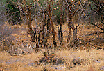 African lion, Chobe National Park, Botswana