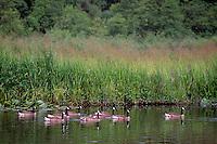 Flock of Canada Geese (Branta canadensis) swimming in Burnaby Lake, Burnaby Lake Regional Nature Park, Burnaby, BC, British Columbia, Canada