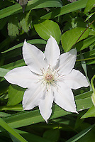 Clematis Hyde Hall aka Evipo009 (EL), white flowers with reddish stamens