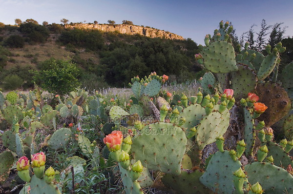Texas Prickly Pear Cactus, Opuntia lindheimeri, blooming, Uvalde County, Hill Country, Texas, USA