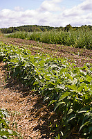 A farm field of bush bean plants.