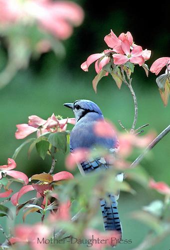 Bluejay bird (Cyanocitta cristata) on pink dogwood tree  in spring facing away.