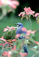 Bluejay bird (Cyanocitta cristata) on pink dogwood tree  in spring facing away.