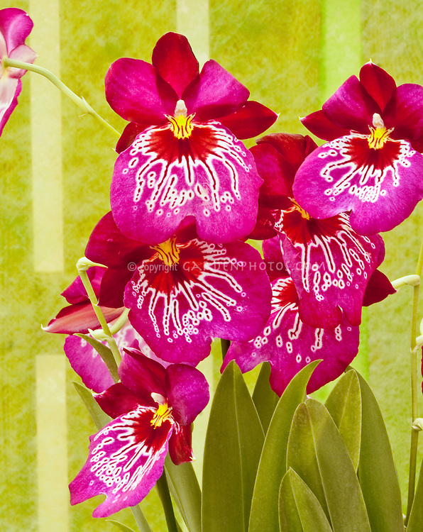 Miltonia Miltoniopsis Mario van Peebles, waterfall type orchid vivid pink, genus is native to Central and South America