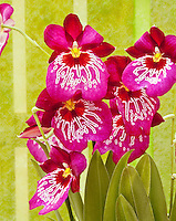 Miltonia Miltoniopsis waterfall type orchid vivid pink
