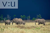 African Elephants and approaching storm. ,Loxodonta africana, Kenya