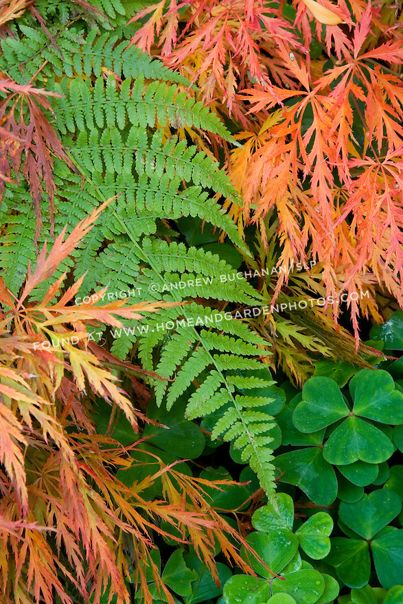 The orange-red laceleaf Japanese maple leaves contrast with the bright green of fern and clover foliage in this autumn scene.