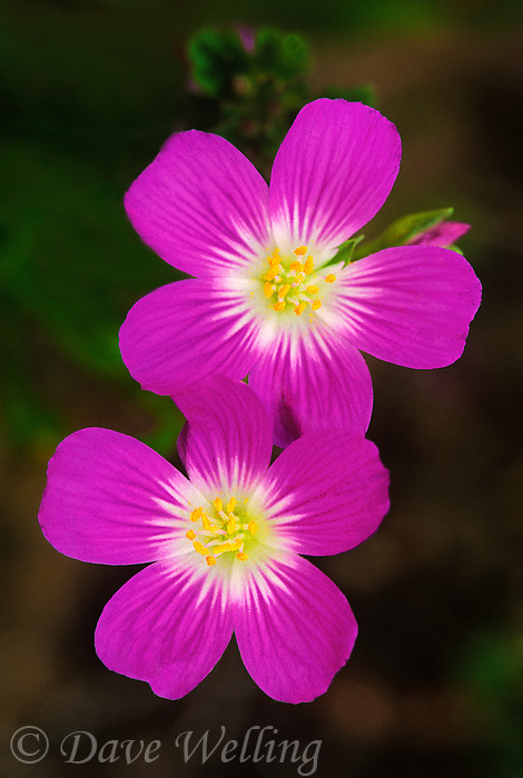 174300002 wild red maids native plant calendrina ciliata blooms with bright pink blossoms in the santa monica mountains national recreation area in california