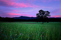 A lone tree stands among a beautiful green field of tall grass at twilight amid a vibrant pink and blue sky in Cades Cove at The Great Smokey Nationapark in Tennessee.