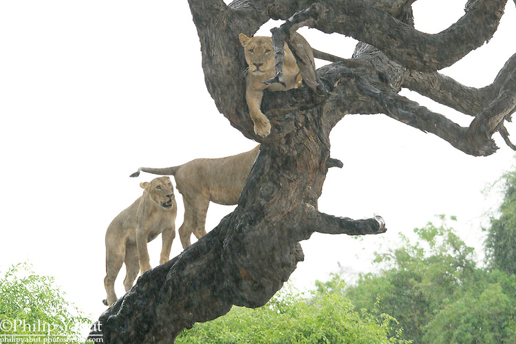 Lions have no trouble climbing trees -- it's getting down that's a problem.<br /> <br /> Chobe National Park, Botswana