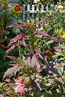 Hibiscus acetosella 'Kopper King' foliage purple rose mallow