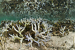 Shallow bleaching corals with its reflection in the water