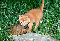 Box turtle ducks the exploratory interest of gold tabby kitten