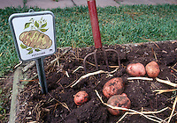 Potatoes, red-skinned, being dug from the garden soil with garden tool fork and plant tag label sign