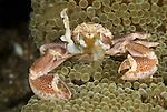 Porcelain anemone crab (Neopetrolisthes maculosus)