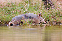 Nine-banded Armadillo walking in shallow water (Dasypus novemcinctus), Texas, USA