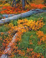 Wild huckleberry, beargrass and fallen trees in Waldo Lake Wilderness, Oregon