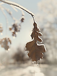 Oak leaf covered with ice, artistic fall winter abstract nature scenery