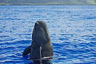 Short-finned pilot whale spyhopping, Globicephala macrorhynchus, off Kona, Big Island, Hawaii, Pacific Ocean.