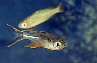 Celebes-Ährenfisch, Celebes-Sonnenstrahlfisch, Celebes-Segelfisch, Marosatherina ladigesi, Telmatherina ladigesi, Celebes rainbowfish