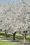 Almond trees in full bloom during early spring, Williams, Calif.