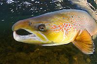 Atlantic Salmon - Norway