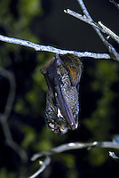The endangered hoary bat, (lasiurus cinereus semotus).