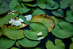 Lily pads at Woodland Park Rose Garden  with white flower Seattle Washington USA