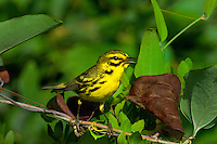 592260009 a wild male prairie warbler setophaga discolor - was dendroica discolor - perches in a large leafy plant in the angelina national forest jasper county texas