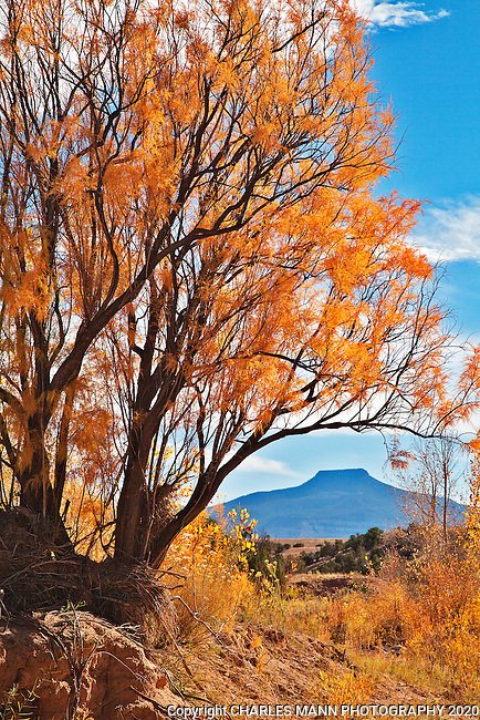 A salt cedar turned yellow with the color of autumn frames the blue outline of iconic Pedernal Peak in the late afternoon October light.