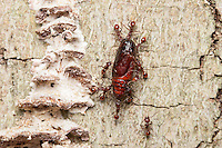 Spine-waisted Ant (Aphaenogaster tennesseensis) workers carry scavenged food, a moth pupa, to their nest straight up the trunk of a dead American Beech tree.