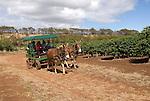 Hawaii: Molokai, coffee plants experienced during Coffees of Hawaii tour..Photo himolo243-72462..Photo copyright Lee Foster, www.fostertravel.com, lee@fostertravel.com, 510-549-2202