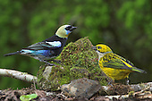 Golden-hooded Tanager (Tanagara larvata) male (yellow, black, blue) and female (yellow), Costa Rica