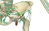 An anterolateral view (right side) of the lymph supply of the left hip. Royalty Free