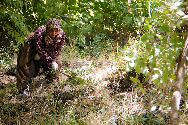 3/10/2012--Syagwez,Sulaimaniyah,Iraq-- A woman who lives in Syagwez  is one of those many Syagwez's people who is collecting the walnut from the ground after they fell off the tree.