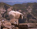 Mountain Goat walking along a cliff edge at Scotchman peak