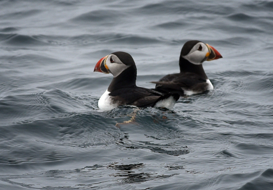 THE ISLES OF SCILLY SEABIRD RECOVERY PROJECT. PUFFINS FISHING IN THE WESTERN ROCKS.<br /> 17/06/2015. PHOTOGRAPHER CLARE KENDALL.