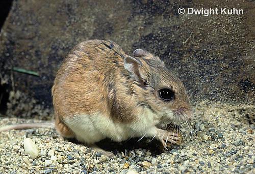 MU32-051z  Northern Grasshopper Mouse - Onychomys leucogaster