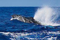 Humpback Whales in a competitive, high-speed heat run, charging whale blowing spouts with enormous sounds, Megaptera novaeangliae, Hawaii, Pacific Ocean.