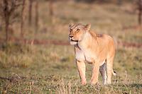 Lioness hunting on the savanna in the Masai Mara, Kenya, Africa (photo by Wildlife Photographer Matt Considine)