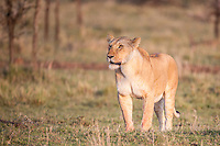 Lioness hunting on the savanna in the Masai Mara, Kenya, Africa (photo by Wildlife Photographer Matt Considine)