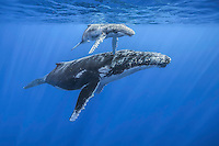This mother and calf swim slowly throgh the clear blue water. (Photo by Underwater Photographer Matt Considine)