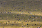 Few places on Earth can match the spectacle of the Porcupine Herd migrating across the Arctic Plains.