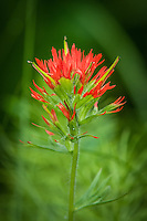 Orobanchaceae (Indian Paintbrushes and Broomrapes)